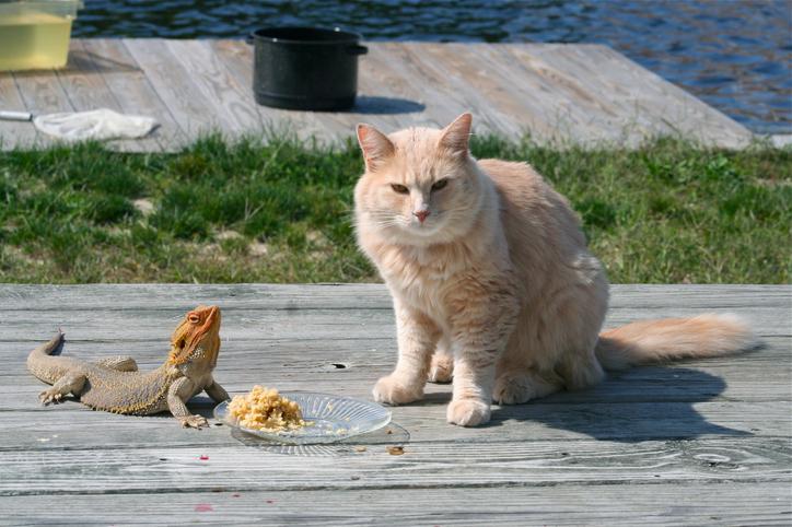 reptiles-pets-bearded-dragon-cat