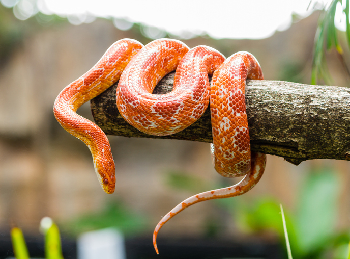reptiles-pets-corn-snake